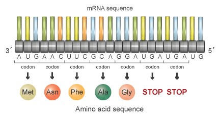 Amino acid sequence
